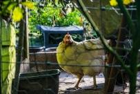 Chicken_cage_ldpfotoblog_web