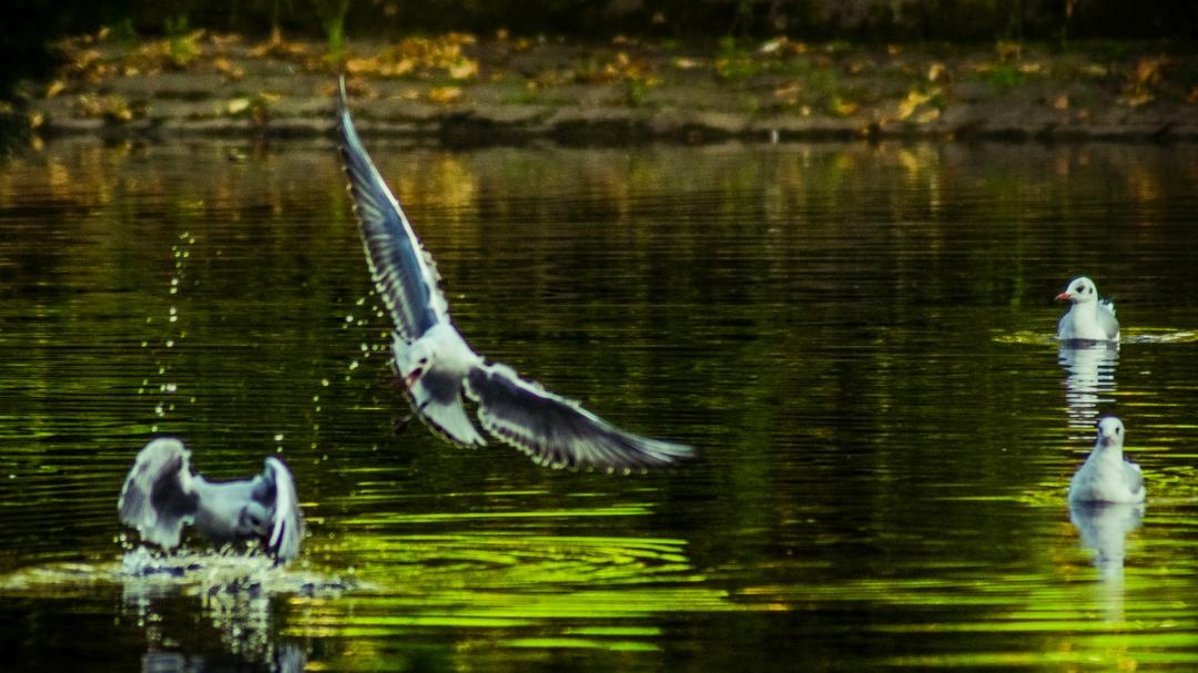 victoria_park_birds_ldpfoto_sept-web