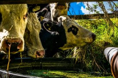 cows-and-water_ldpfotoblog