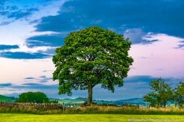 Tree on The Farm after sundown.Forest Of Bowland, Lancashire, England, UK