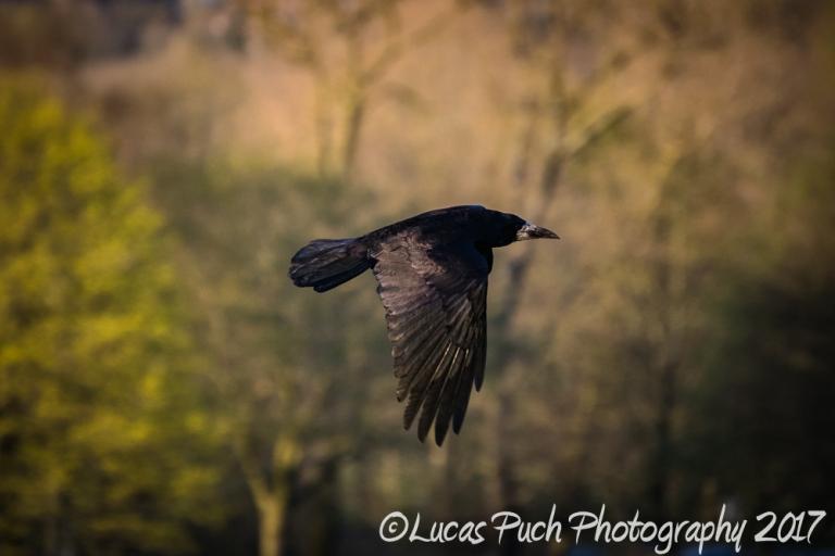 flying_raven _lucaspuch_web-1