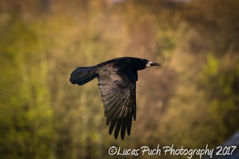 flying_raven _lucaspuch_web-2