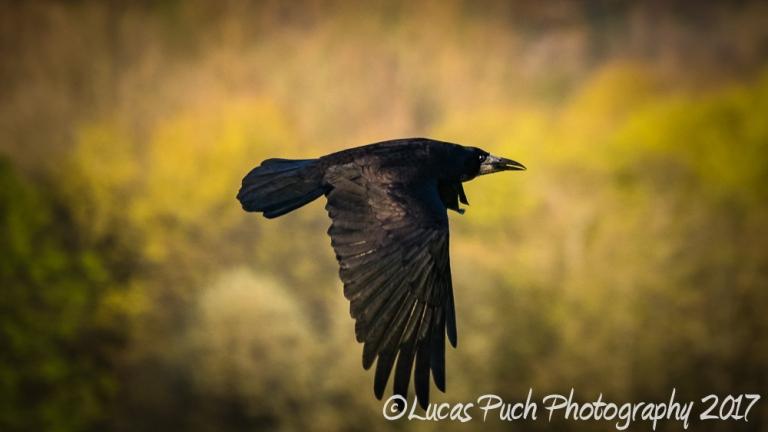 flying_raven _lucaspuch_web-3