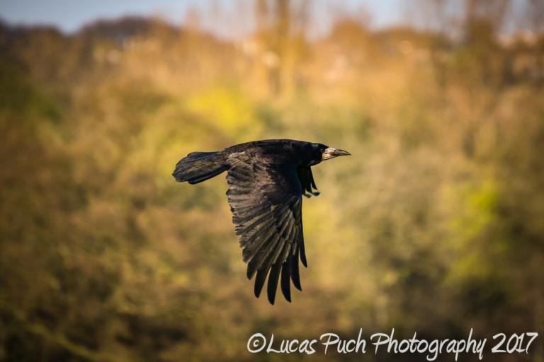 flying_raven _lucaspuch_web-4