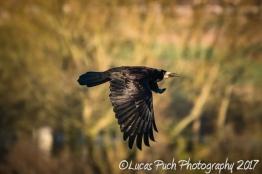flying_raven _lucaspuch_web-5