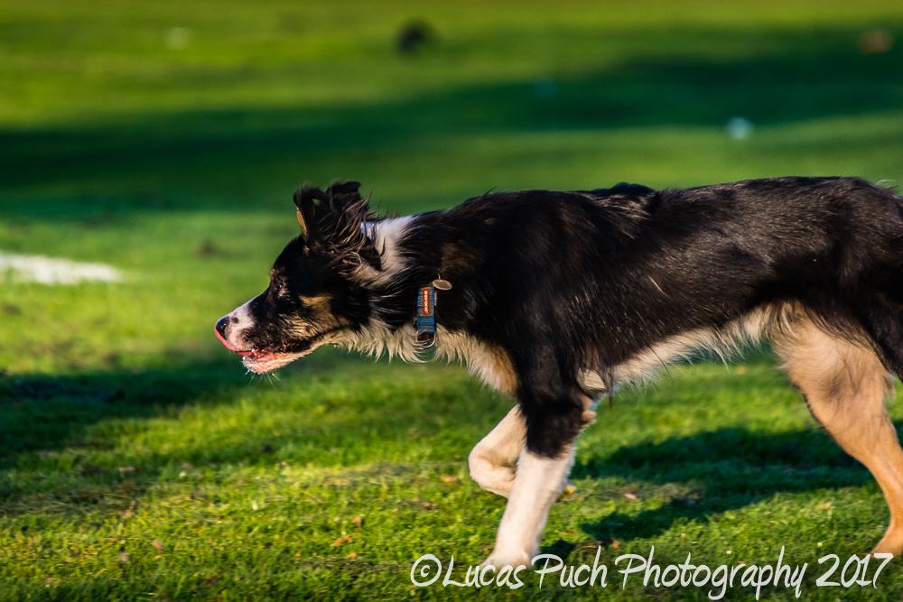 Towneley_twocoloreyedog_lucaspuch_sweb-12