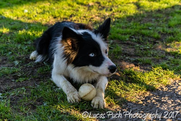 Towneley_twocoloreyedog_lucaspuch_sweb-5