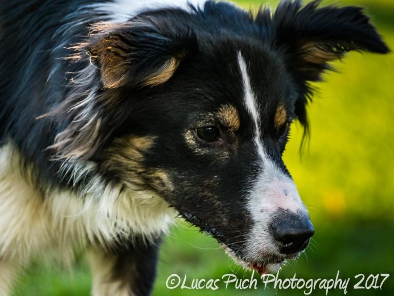 Towneley_twocoloreyedog_lucaspuch_sweb-8